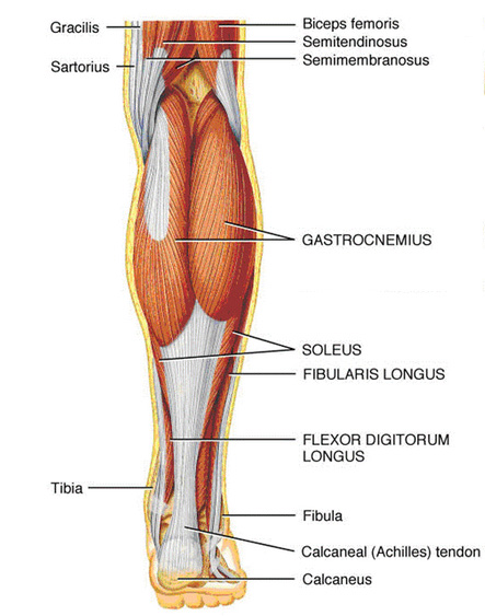 lower leg muscles | chape personal trainer, Human Body