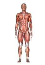 Biceps F