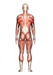 Triceps B